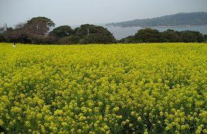 旦那くんの入浴シーンは放送コードに触れます。代わりに福岡県の能古島に咲く菜の花の画像をお楽しみください。