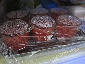 容器に入れたスイカとトマトのゼリーを一晩冷蔵庫に。美味しく出来るかな?